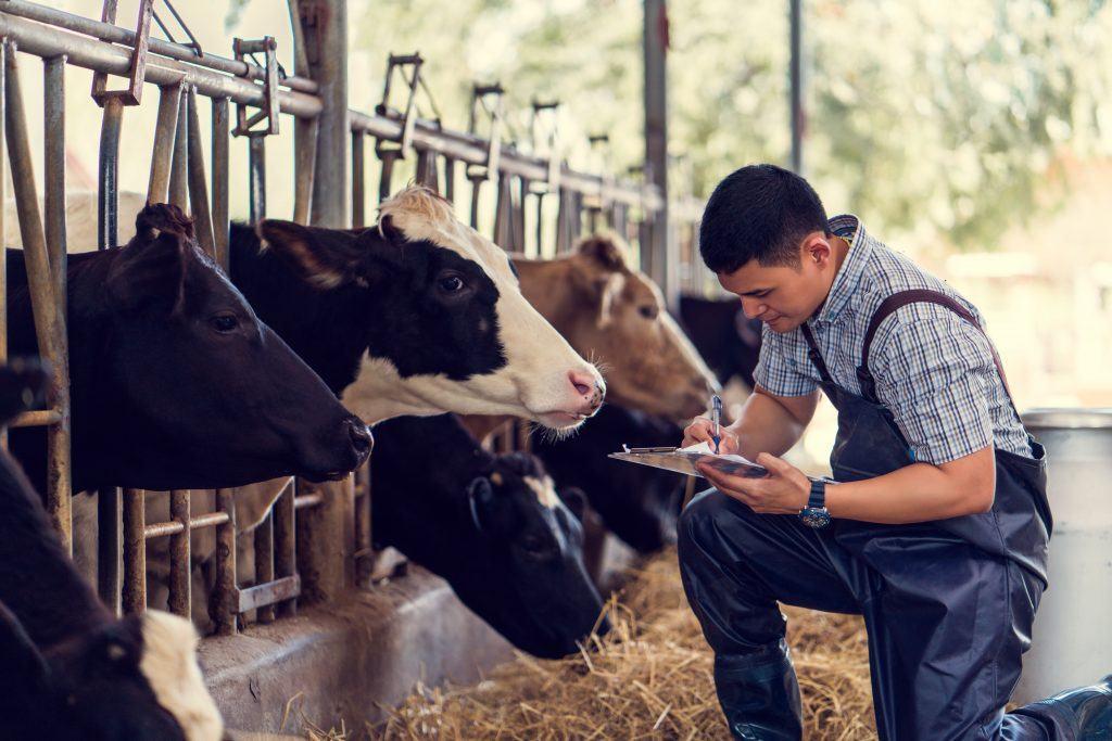 farmer-szarvasmarhakkal